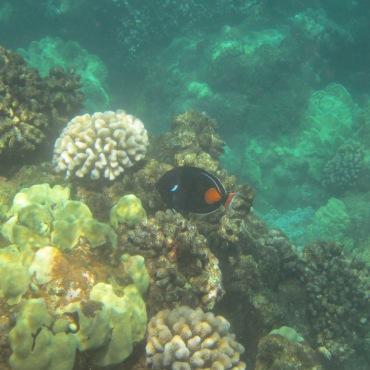 Lanai Snorkling 082